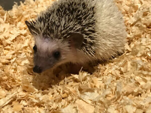 Baby African Pygmy Hedgehogs! Home raised and very tame!