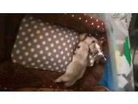 2 stunning pug x frenchbull dog babies