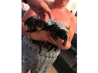 Kc reg miniture daschound puppies