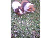 Guniea pig 2 females both 1 years old