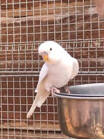 Young budgerigars £15.00 each