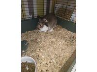 Female rabbit for sale