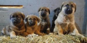 Gorgeous, healthy, happy, & friendly German Shepherd Puppies