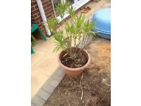 Oleander plant in pot for the garden