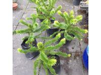 2ft Araucaria Araucana (monkey puzzle) tree