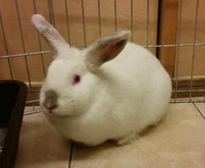"Adult Male Rabbit - Bunny Rabbit: ""Dublin"""