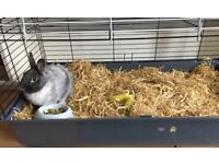 Dwarf Rabbit for adoption in need of a new loving home