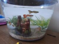 Six Beautifull Male Guppies for sale