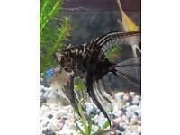 4 Angelfish