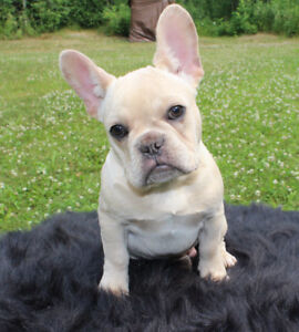 EXQUISITE, BEAUTIFUL HEALTHY & REG'D FRENCH BULLDOG PUPPIES