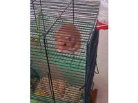 Hamster for sale 5 months old