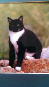 Missing - 9 year old Tuxedo cat