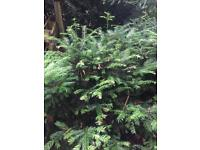 Yew tree plants
