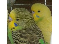 Lovely and healthy Hand Tame Baby Budgies