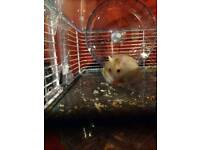 Russian dwarf hamster, home and accessories