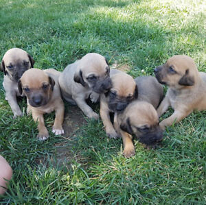 "Black Mouth Cur pups ""rare hunting dogs in canada"""