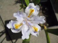 GODWIN IRIS- TINY FLOWERS WHITE WITH YELLOW & BLUE MARKING