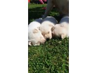 3 white german shepherd puppies for sale