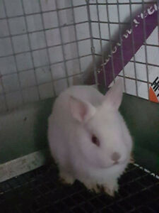 Netherlind Dwarf bunny Rabbit for sale,