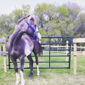 Yearling blue roan paint