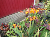 Plants for sale-Crocosmia plants in 26 cm pot.
