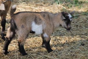 Unregistered, full blood Chamoosie Nigerian Dwarf doeling