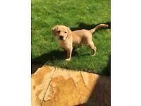 KC Golden Labrador puppy