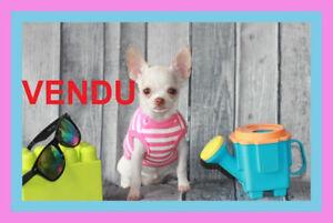 VENDU Chihuahua ❤❤femelle ❤❤ princesse de sacoche VENDU