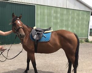 Large 14.2 QH Pony Mare 8 yrs old