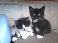 2 KITTENS 9 weeks. BD7. £30 each or £20 if taken together. Weaned and cat litter trained.