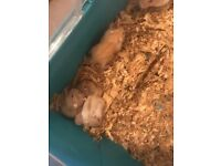 Baby Russian dwarf hamsters £3each