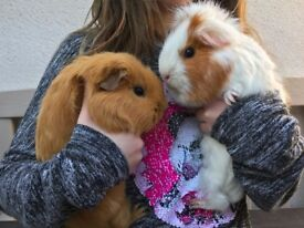 Elsa and Arne Need a New Home - 2 Female Guinea Pigs With all Equipment - Aged 3 years.