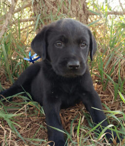 BLACK LAB PUPPIES- 2 Females available