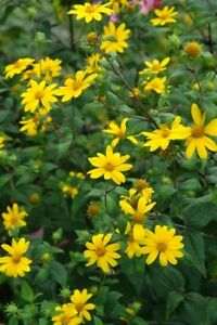 perennial plant .... Woodland Sunflower ... Easy to grow ..