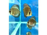 Different Discus for sale - 3-4 inches -Tropical Fish - from £16.95 - More Images Available