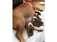 Champion sired kc reg show quality English bulldog puppies