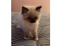 Pedigree Blue Eyed Ragdoll Kittens with Mittens
