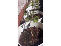 Ginkgo Biloba Herb tree for sale , anti - aging anti - cancer , anti - inflammatory , from Glasgow