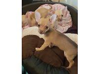 3 chihuahua pups