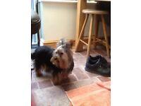 Kc registered Yorkshire terrier male