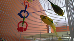 Breeding Pair of Budgies with Cage & Accessories