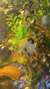 $50 OBO 3 angel fish and 3 gouramis for sale