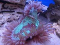 Elegance coral catalaphyllia purple tip marine reef