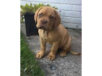 9 week old Dogue de Bordeaux for sale.