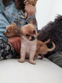 Gorgeous chihuahua pups