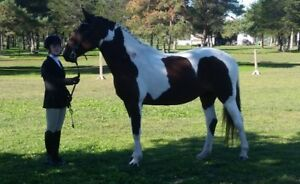 very fancy pinto WB mare shown Hunter and Jumper