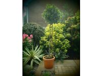 Beautiful Standard Bay Tree for Sale