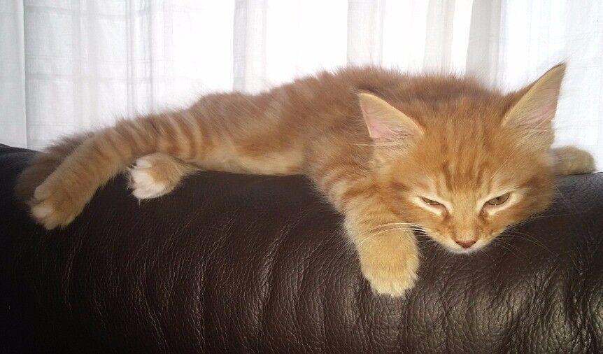 Adorable Fluffy Fur Ginger Kittens One Left In