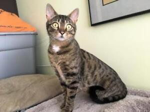 "Adult Female Cat - Domestic Short Hair-Tabby (Brown): ""Anna"""