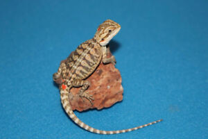 Leatherback Baby Bearded Dragons!